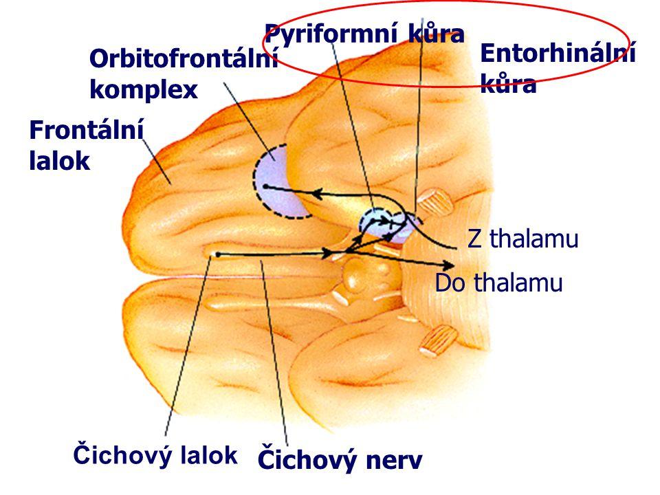Pyriformní kůra Entorhinální kůra. Orbitofrontální komplex. Frontální lalok. Z thalamu. Do thalamu.