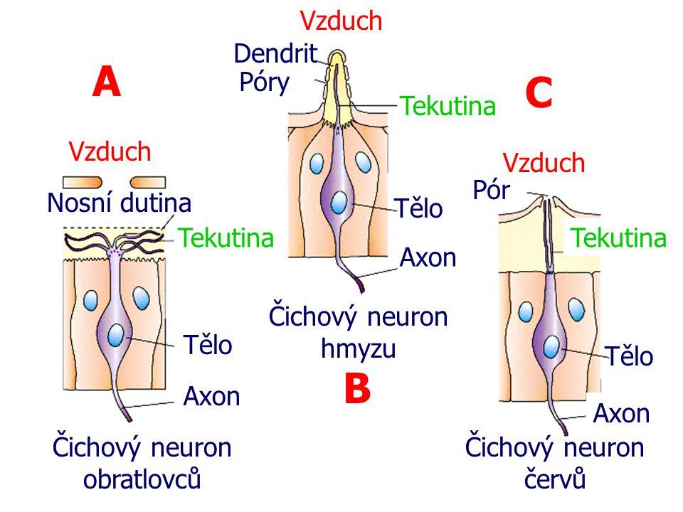 Čichový neuron obratlovců