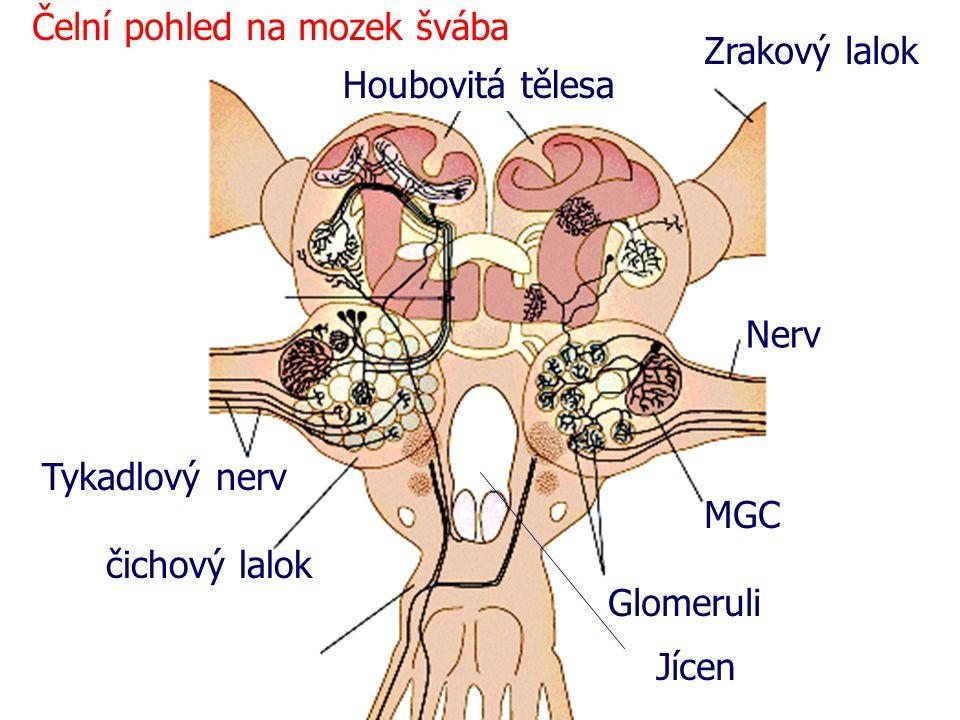 Čelní pohled na mozek švába