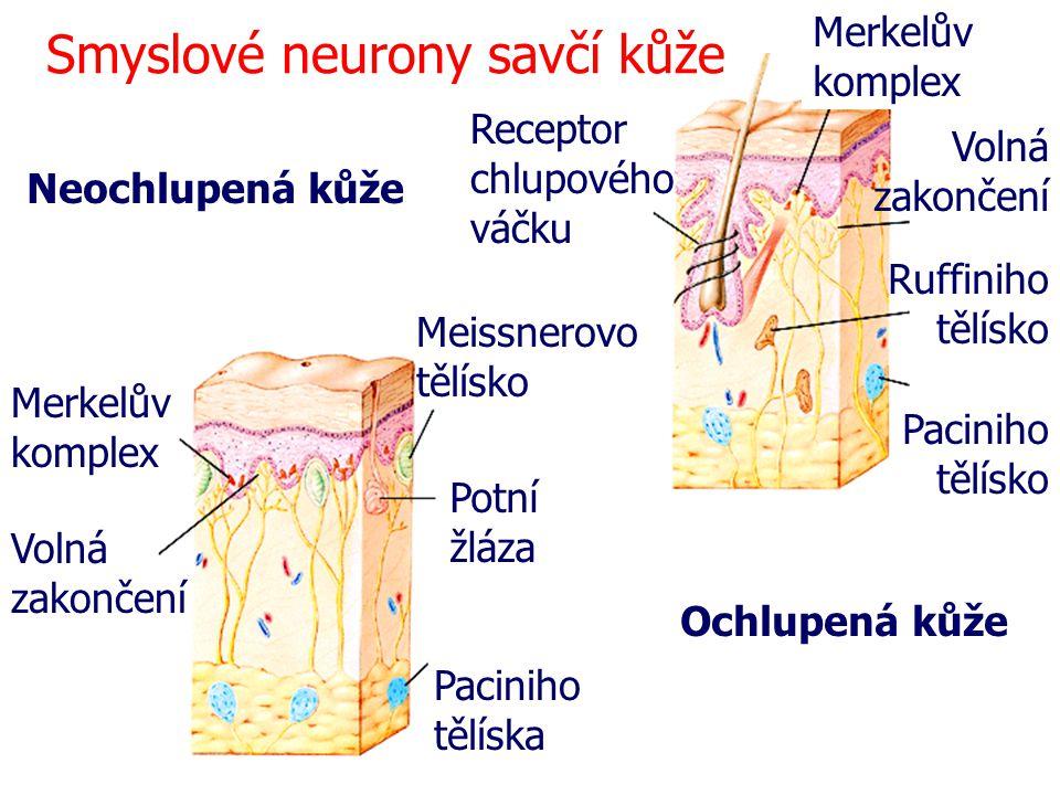 Smyslové neurony savčí kůže