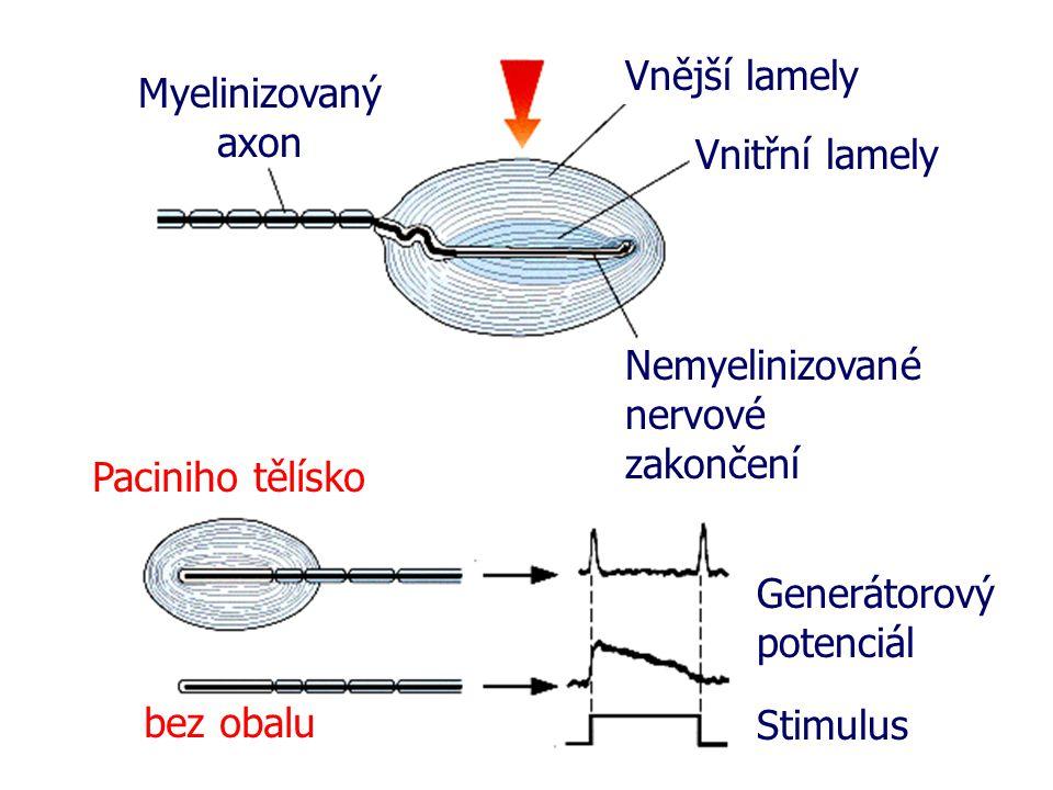 Vnější lamely Myelinizovaný axon. Vnitřní lamely. Nemyelinizované nervové zakončení. Paciniho tělísko.