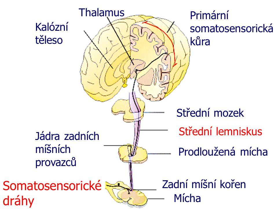 Somatosensorické dráhy