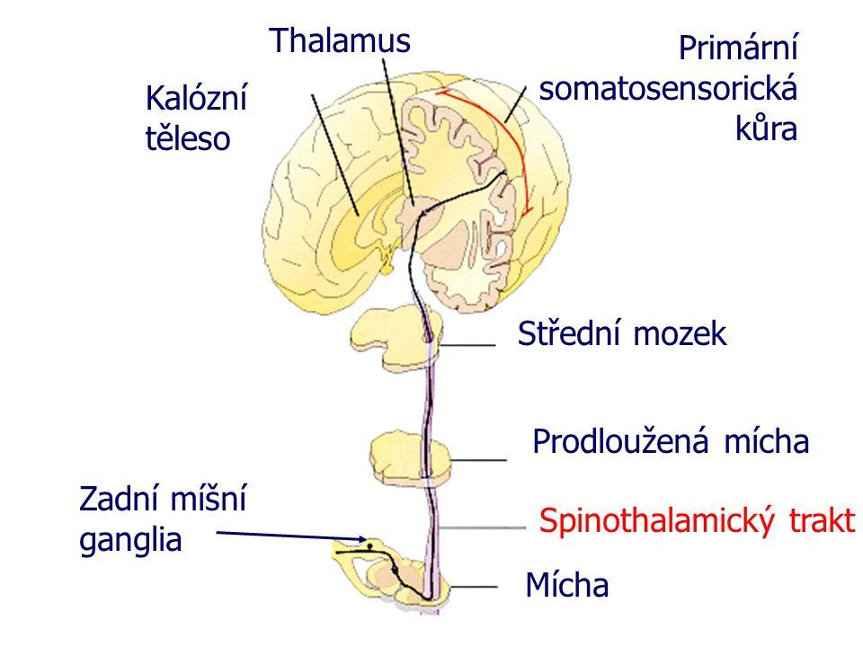 Thalamus Primární somatosensorická kůra. Kalózní těleso. Střední mozek. Prodloužená mícha. Zadní míšní ganglia.