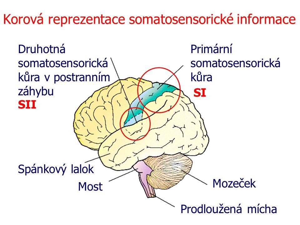Korová reprezentace somatosensorické informace