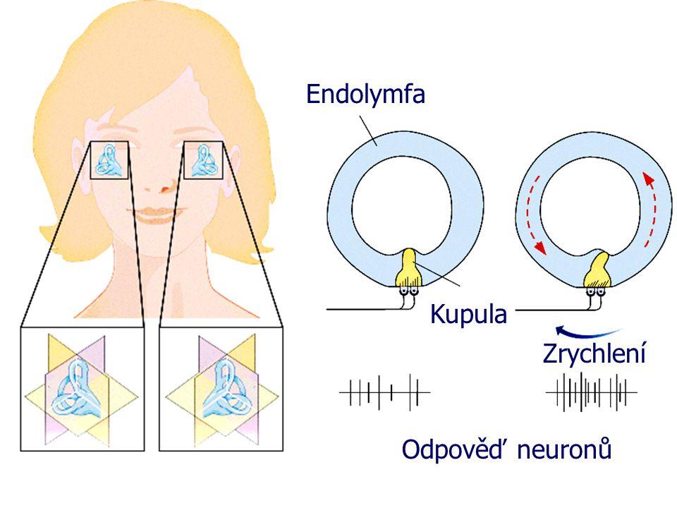 Endolymfa Kupula Zrychlení Odpověď neuronů