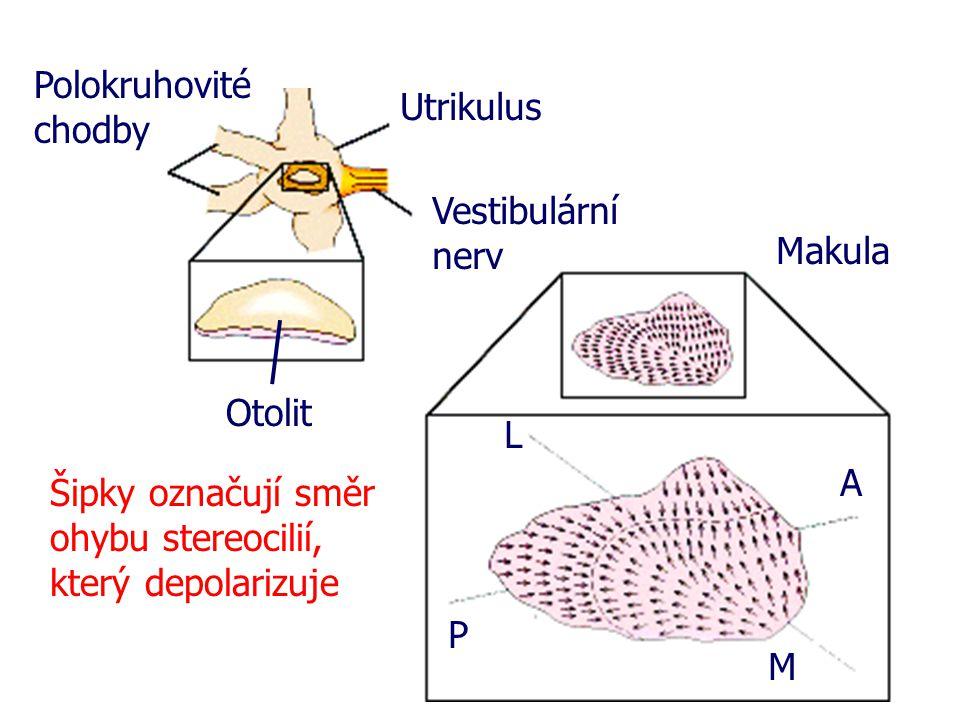 Polokruhovité chodby Utrikulus. Vestibulární nerv. Makula. Otolit. L. A. Šipky označují směr ohybu stereocilií, který depolarizuje.