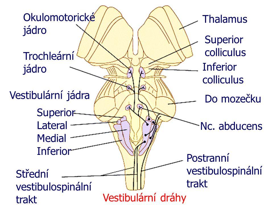 Okulomotorické jádro Thalamus. Superior colliculus. Trochleární jádro. Inferior colliculus. Vestibulární jádra.