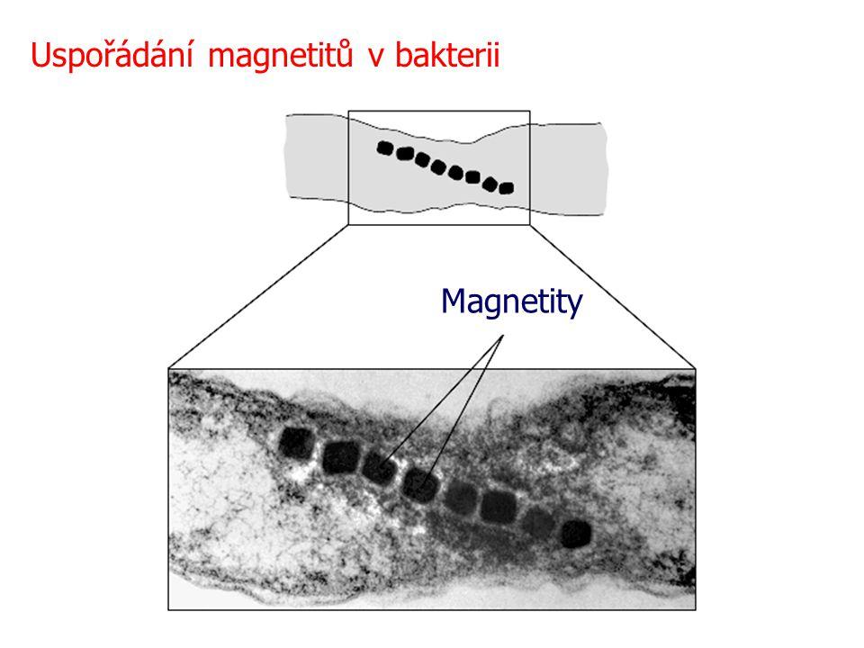 Uspořádání magnetitů v bakterii