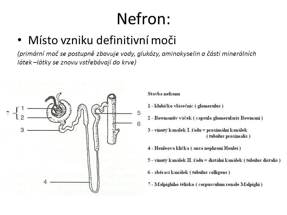 Nefron: Místo vzniku definitivní moči