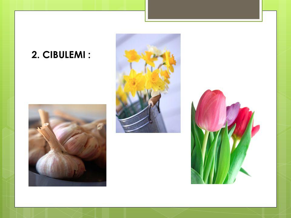 2. CIBULEMI :