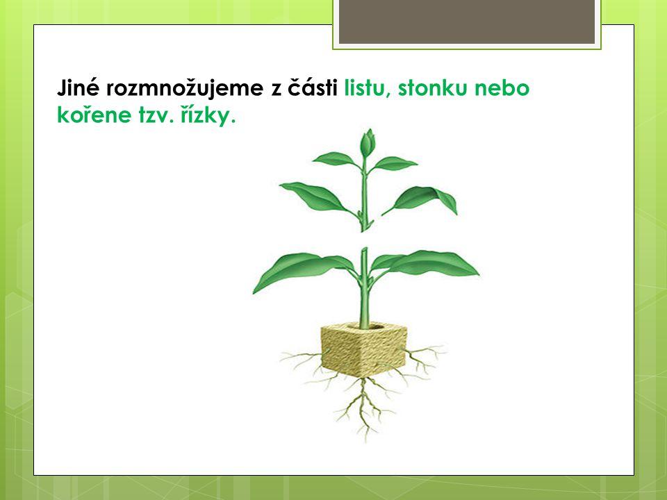 Jiné rozmnožujeme z části listu, stonku nebo kořene tzv. řízky.
