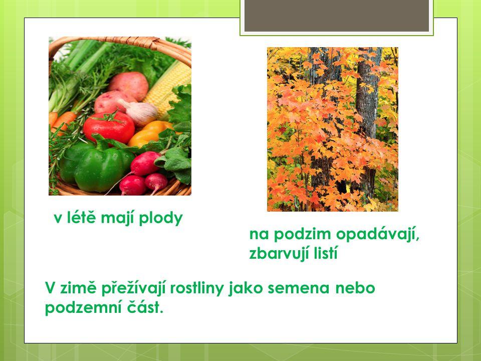 v létě mají plody na podzim opadávají, zbarvují listí.