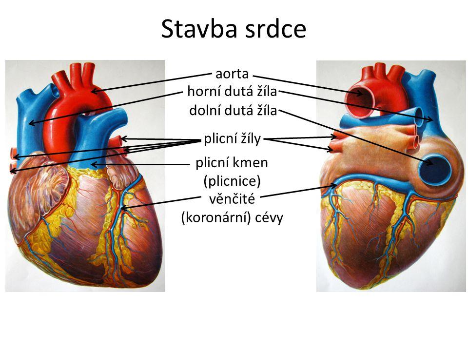 Stavba srdce aorta horní dutá žíla dolní dutá žíla plicní žíly