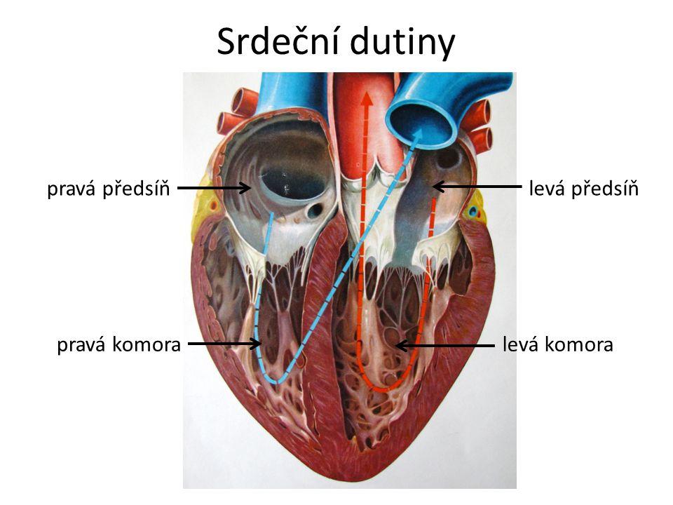 Srdeční dutiny pravá předsíň levá předsíň pravá komora levá komora