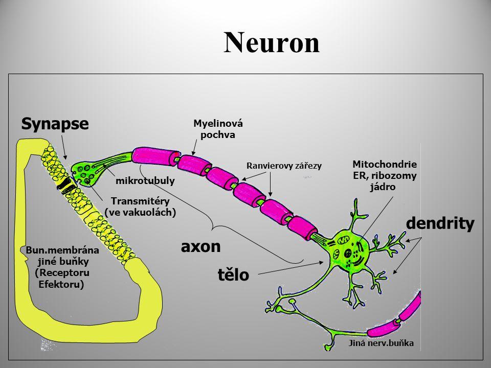 Neuron Synapse dendrity axon tělo Myelinová pochva Mitochondrie