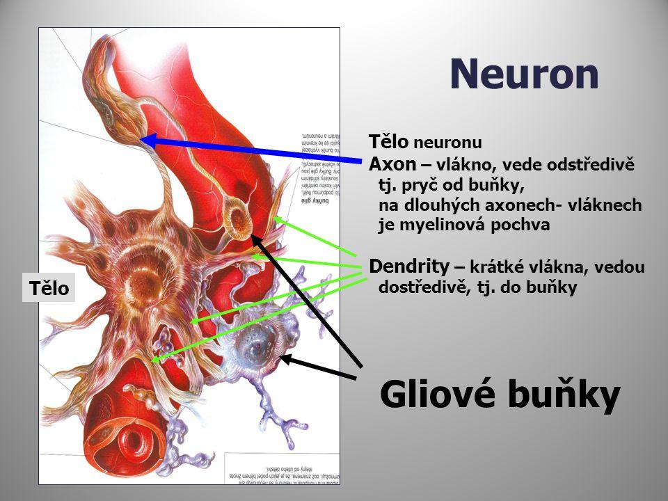 Neuron Gliové buňky Tělo neuronu Axon – vlákno, vede odstředivě