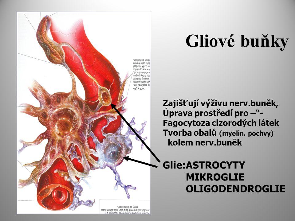 Gliové buňky Glie:ASTROCYTY MIKROGLIE OLIGODENDROGLIE