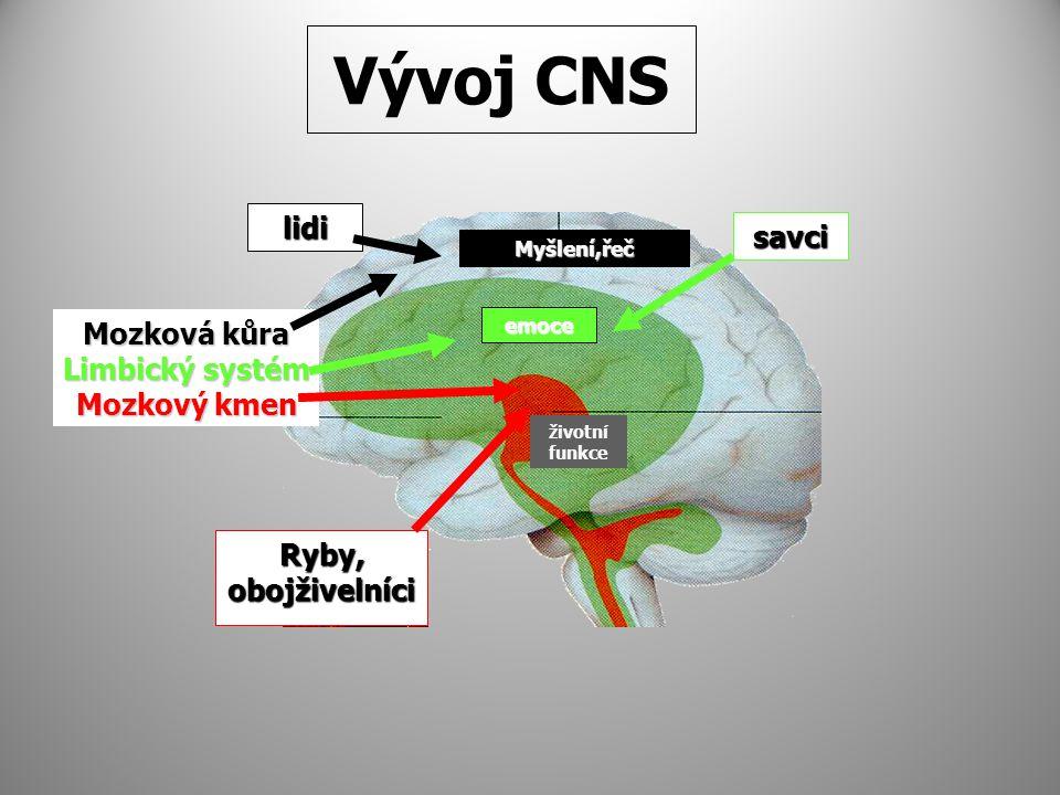 Vývoj CNS lidi savci Mozková kůra Limbický systém Mozkový kmen