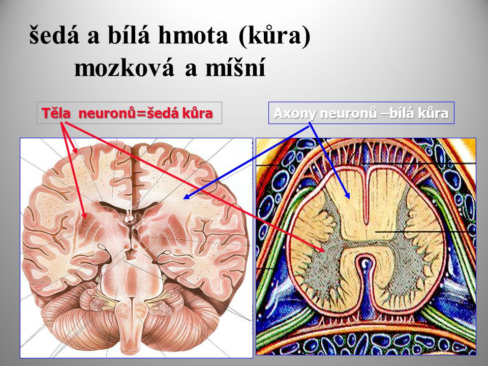 šedá a bílá hmota (kůra) mozková a míšní