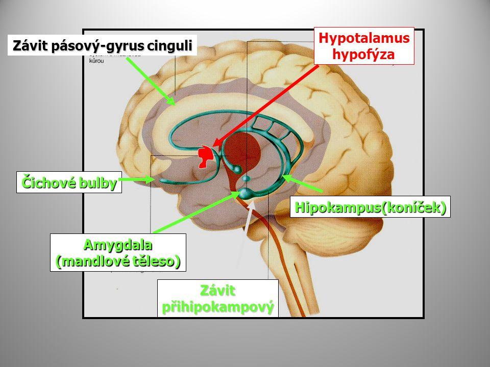 Závit pásový-gyrus cinguli