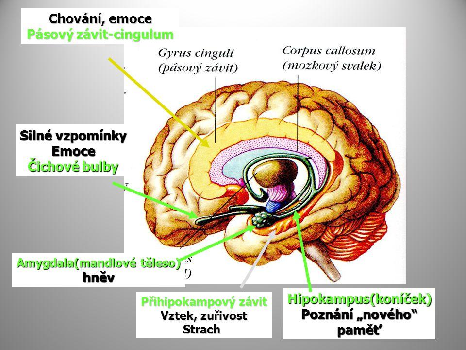 Pásový závit-cingulum Amygdala(mandlové těleso)