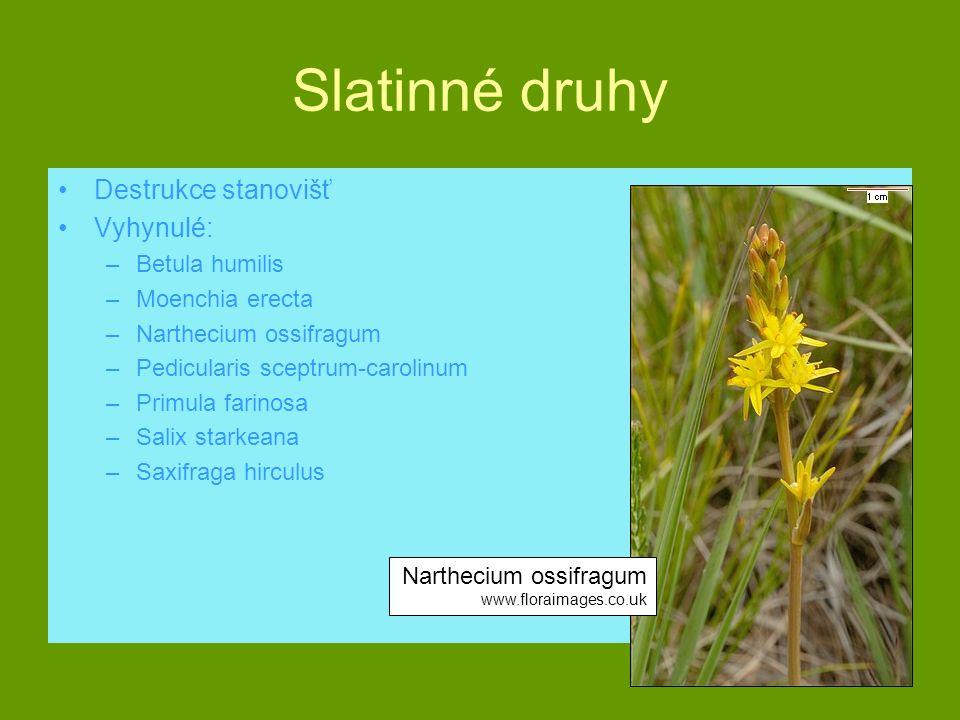 Slatinné druhy Destrukce stanovišť Vyhynulé: Betula humilis