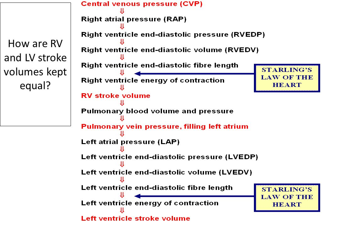 How are RV and LV stroke volumes kept equal