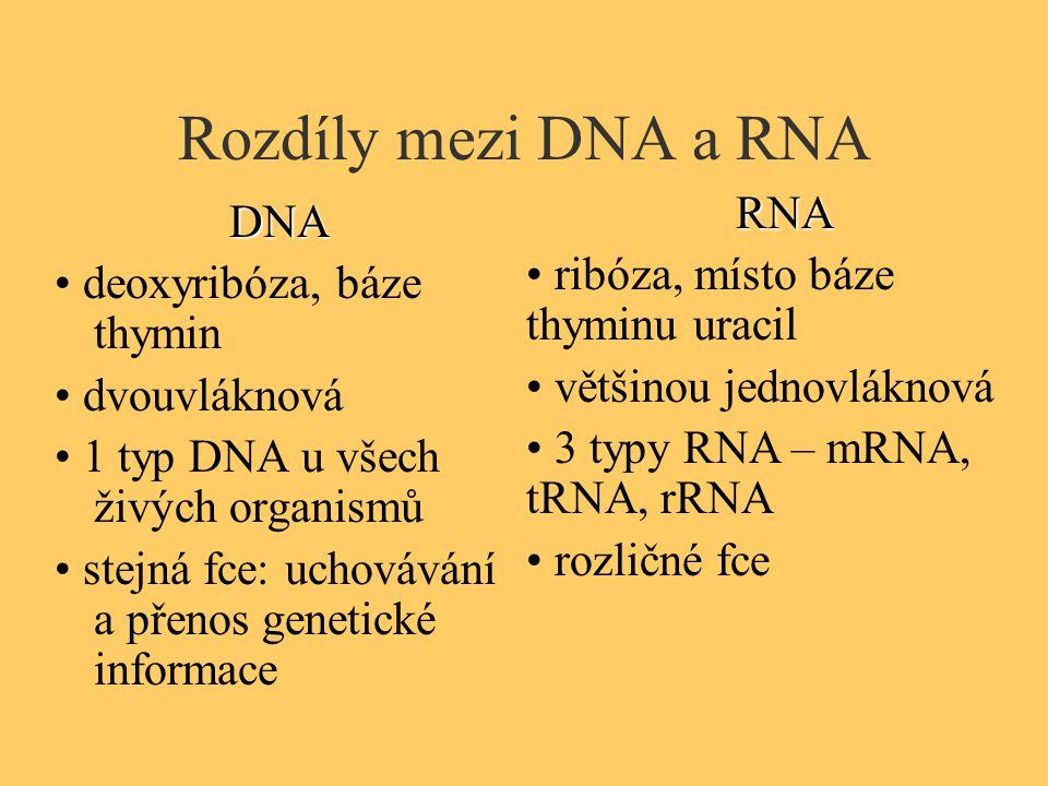 Rozdíly mezi DNA a RNA RNA DNA • ribóza, místo báze thyminu uracil
