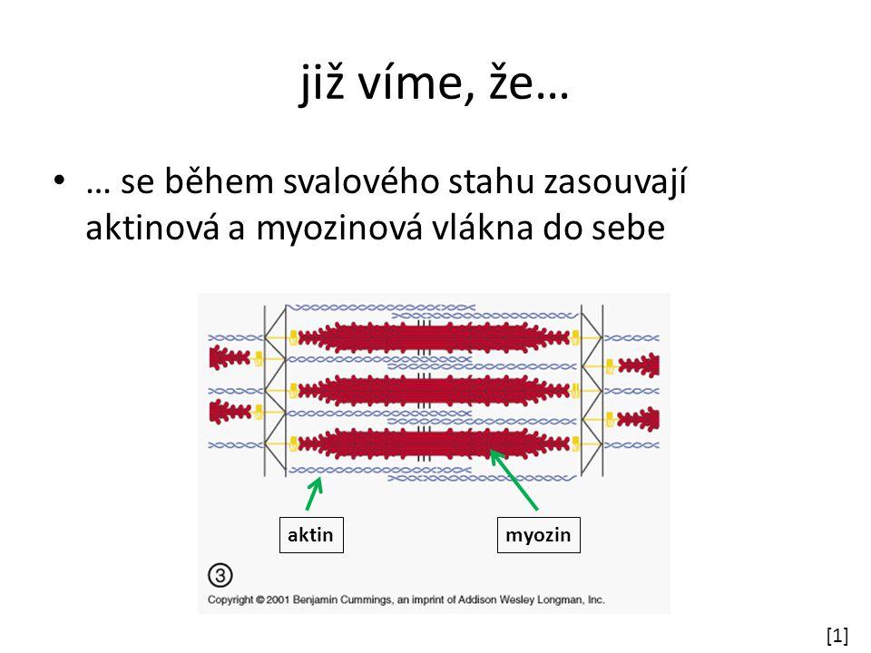 již víme, že… … se během svalového stahu zasouvají aktinová a myozinová vlákna do sebe. aktin. myozin.