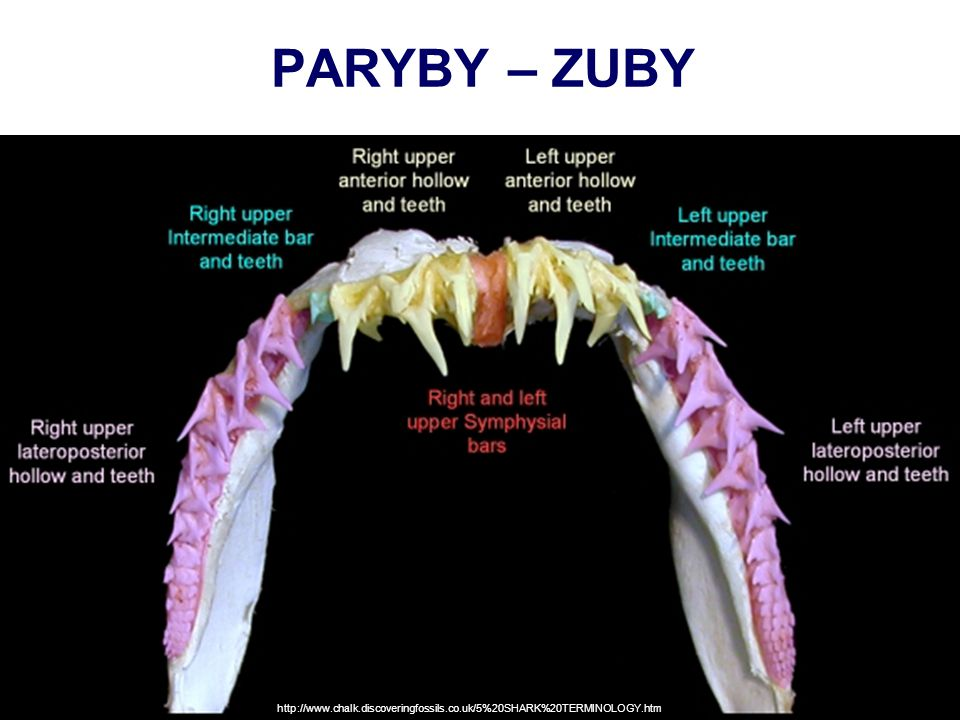 PARYBY – ZUBY http://www.chalk.discoveringfossils.co.uk/5%20SHARK%20TERMINOLOGY.htm