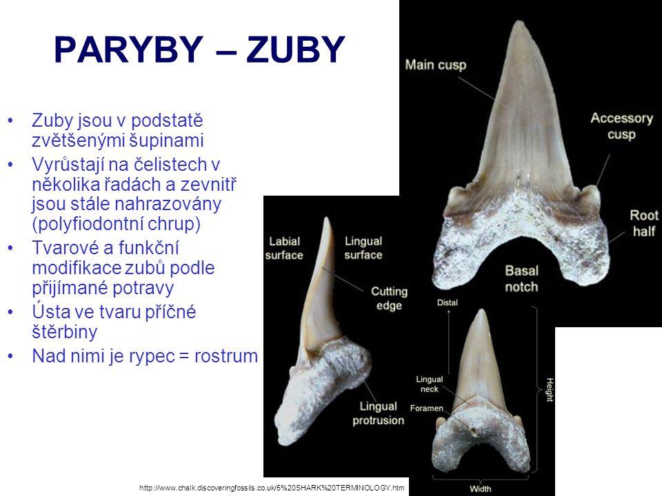 PARYBY – ZUBY Zuby jsou v podstatě zvětšenými šupinami
