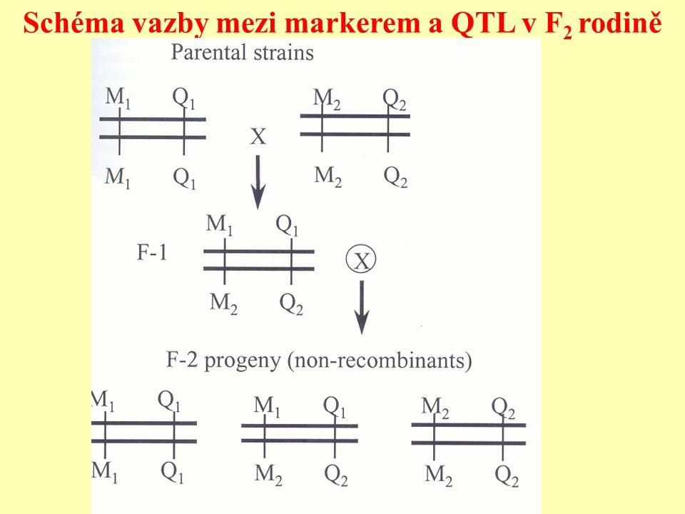 Schéma vazby mezi markerem a QTL v F2 rodině