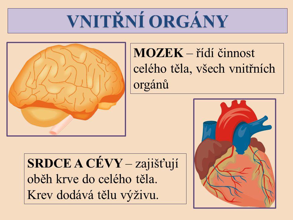 VNITŘNÍ ORGÁNY MOZEK – řídí činnost celého těla, všech vnitřních
