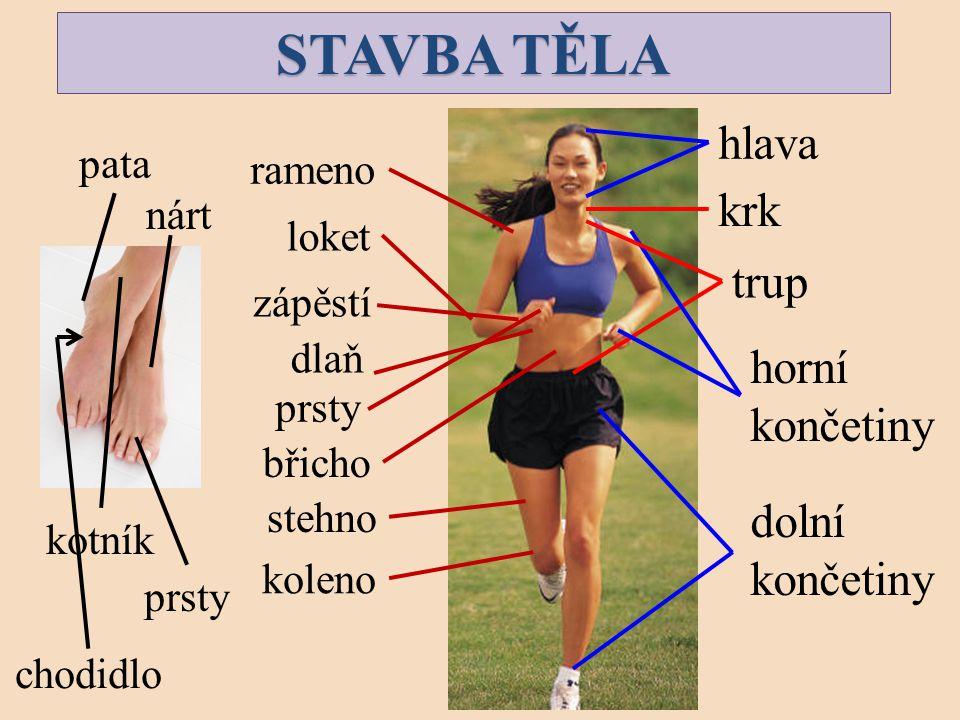 STAVBA TĚLA hlava krk trup horní končetiny dolní končetiny pata rameno