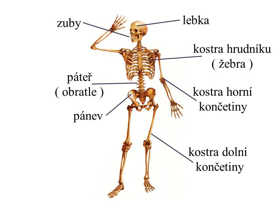 lebka zuby. kostra hrudníku. ( žebra ) páteř. ( obratle ) kostra horní. končetiny. pánev. kostra dolní.
