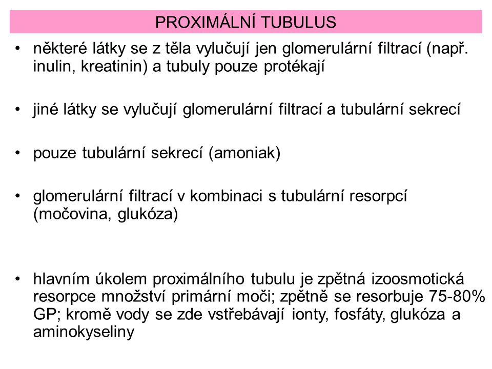 PROXIMÁLNÍ TUBULUS některé látky se z těla vylučují jen glomerulární filtrací (např. inulin, kreatinin) a tubuly pouze protékají.