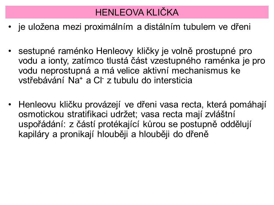 HENLEOVA KLIČKA je uložena mezi proximálním a distálním tubulem ve dřeni.