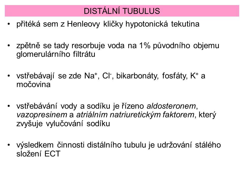 DISTÁLNÍ TUBULUS přitéká sem z Henleovy kličky hypotonická tekutina. zpětně se tady resorbuje voda na 1% původního objemu glomerulárního filtrátu.