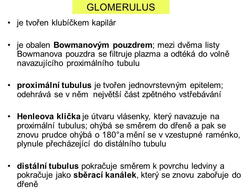 GLOMERULUS je tvořen klubíčkem kapilár
