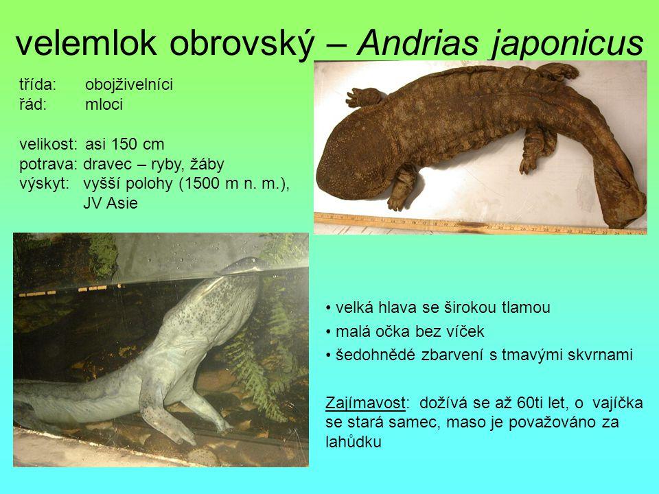 velemlok obrovský – Andrias japonicus
