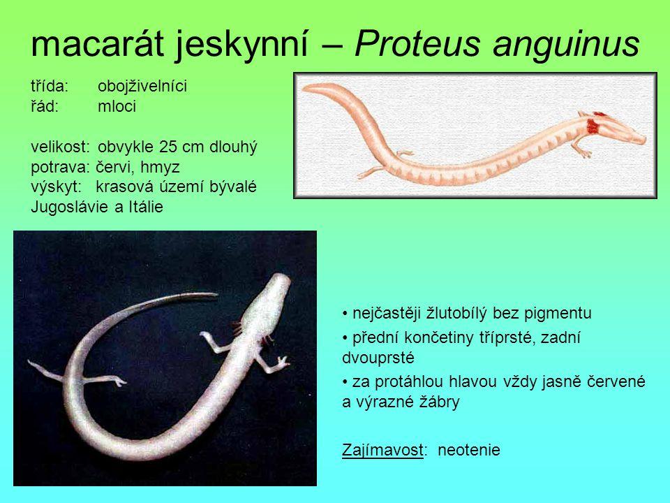 macarát jeskynní – Proteus anguinus