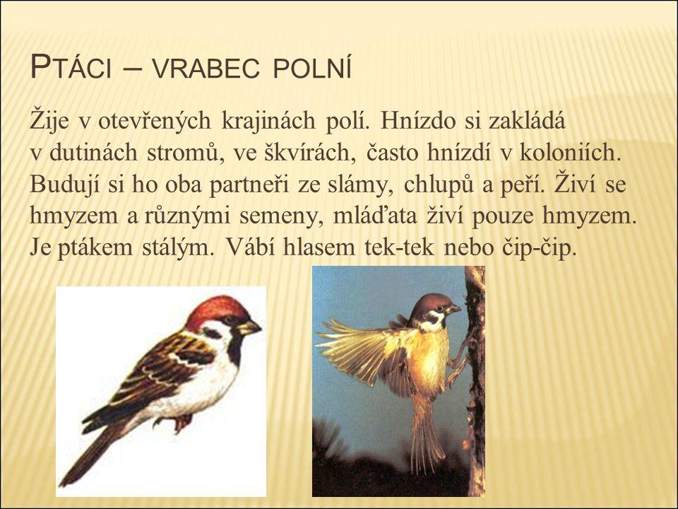 Ptáci – vrabec polní