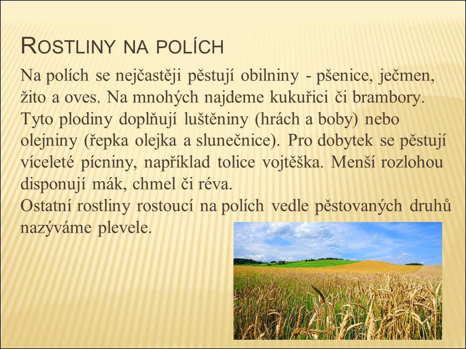 Rostliny na polích Na polích se nejčastěji pěstují obilniny - pšenice, ječmen, žito a oves. Na mnohých najdeme kukuřici či brambory.