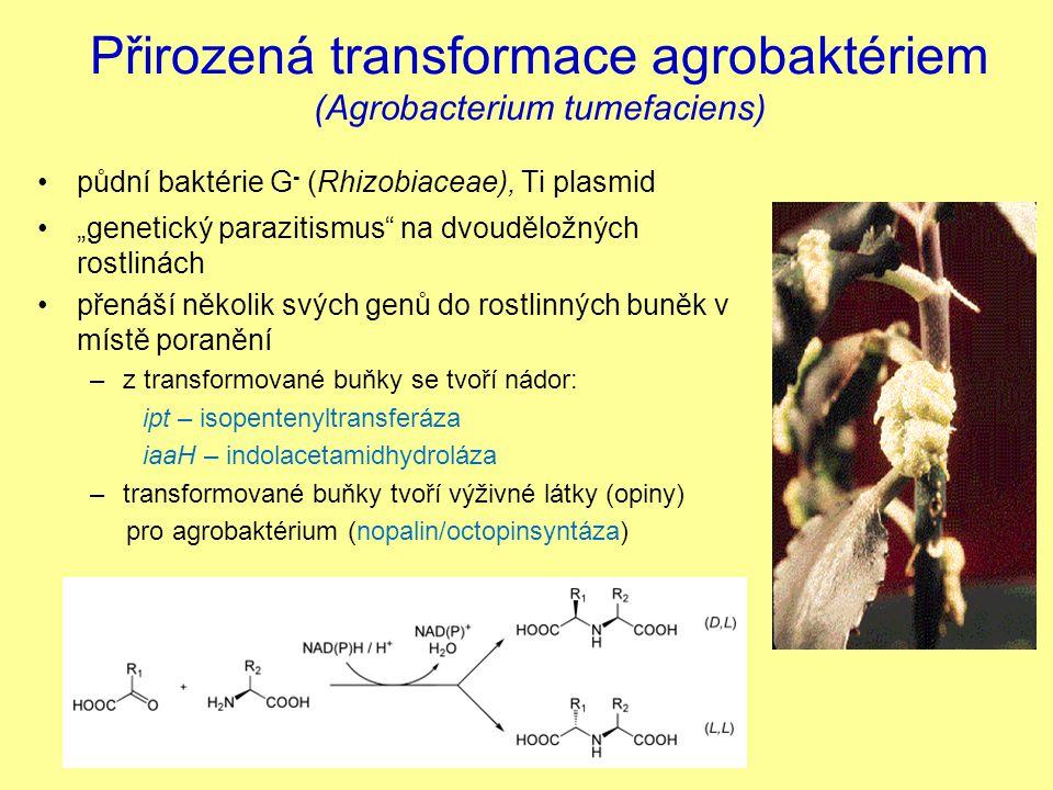 Přirozená transformace agrobaktériem (Agrobacterium tumefaciens)