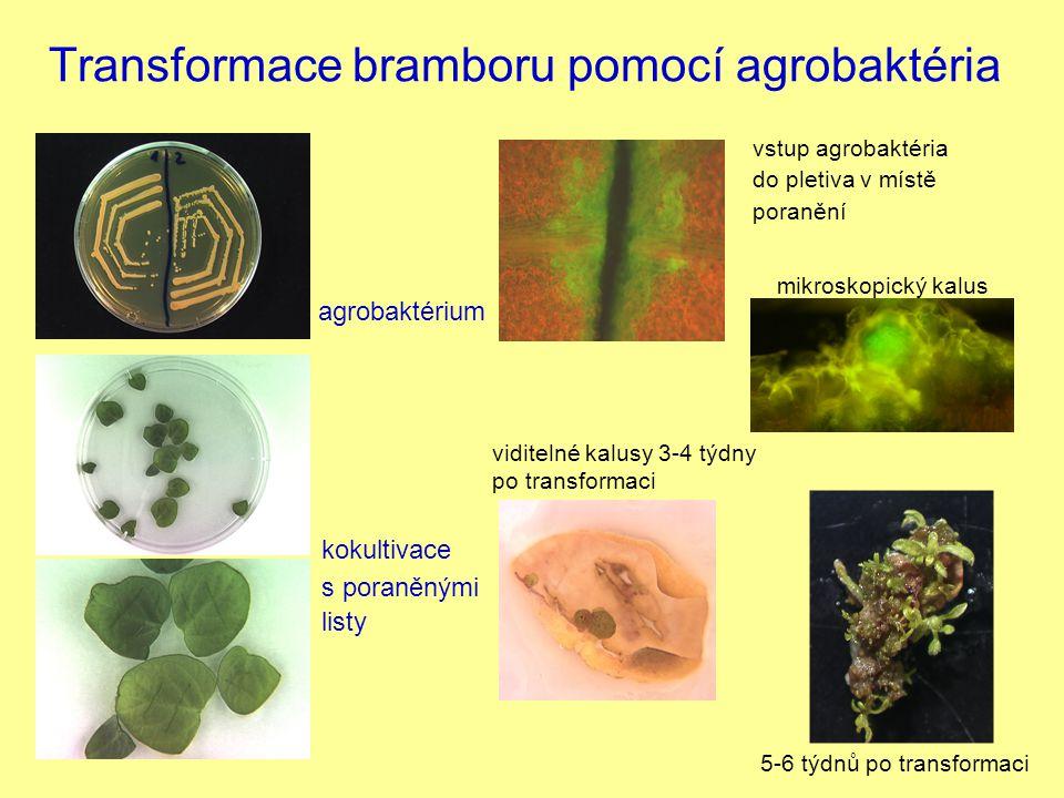 Transformace bramboru pomocí agrobaktéria