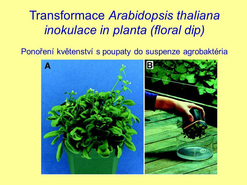 Transformace Arabidopsis thaliana inokulace in planta (floral dip)