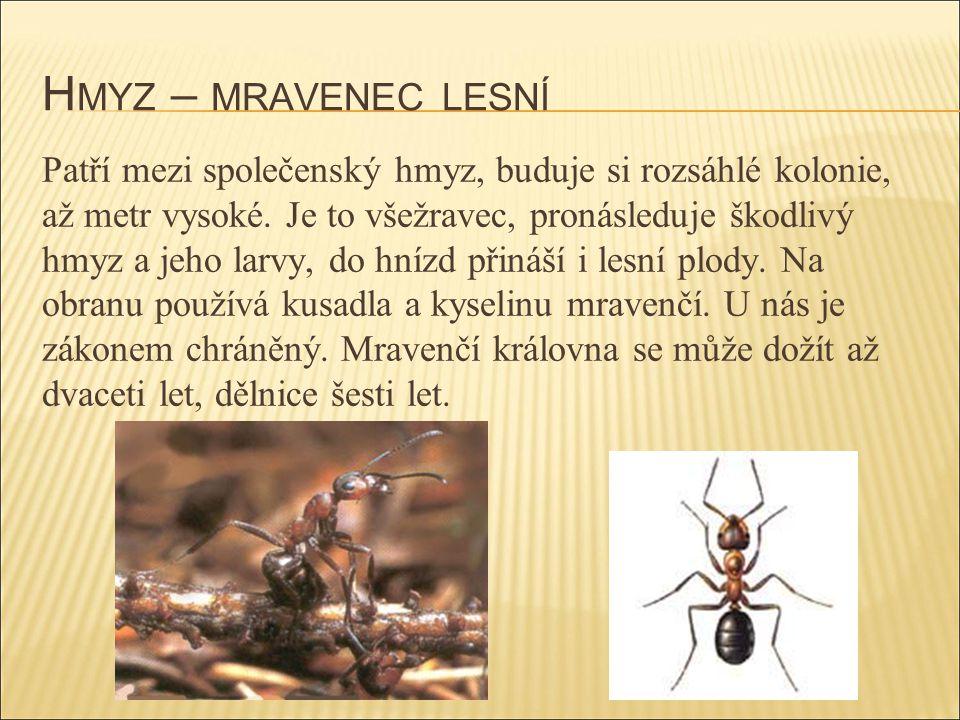 Hmyz – mravenec lesní