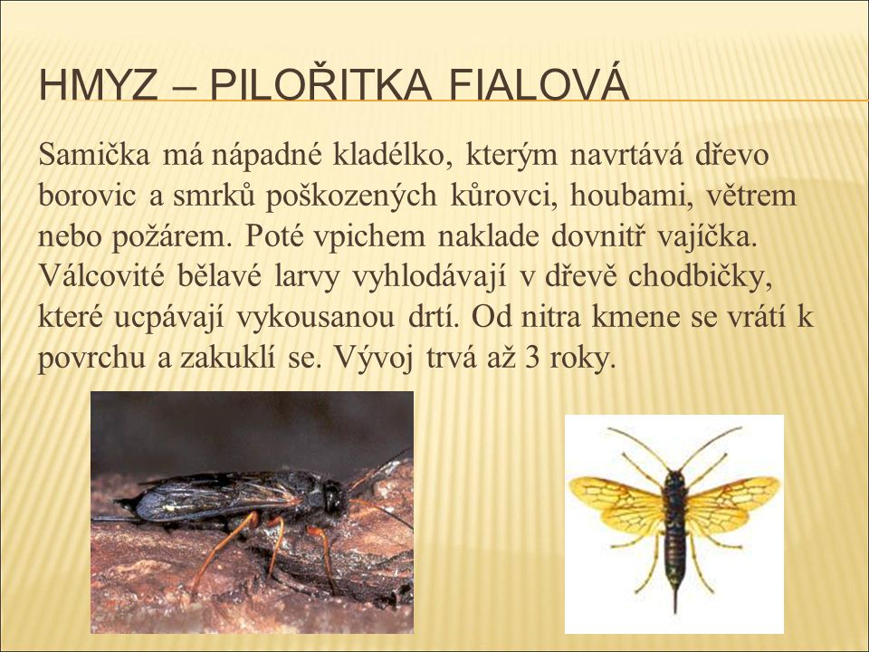 HMYZ – PILOŘITKA FIALOVÁ
