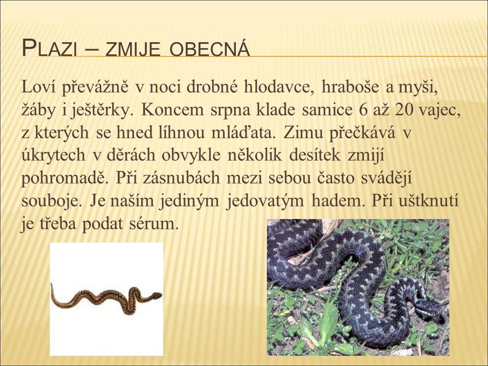 Plazi – zmije obecná