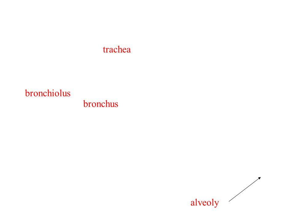 trachea bronchiolus bronchus alveoly